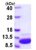 SDS-PAGE - S100 alpha protein (ab108117)