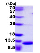 SDS-PAGE - MRP8 protein (ab108120)