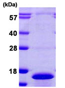 SDS-PAGE - Cdc26 / Apc12 protein (ab108123)