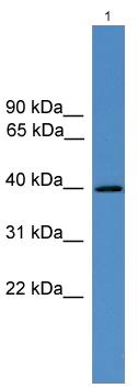 Western blot - AVPR V2 antibody (ab108145)