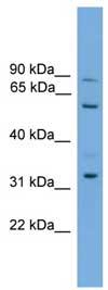 Western blot - PTDSS2 antibody (ab108147)