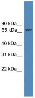 Western blot - ZNF304 antibody (ab108151)