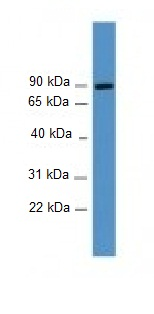 Western blot - DREF antibody (ab108160)