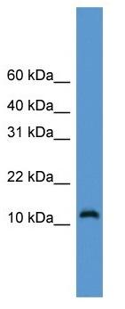 Western blot - Cdc26 / Apc12 antibody (ab108162)