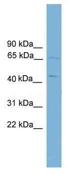 Western blot - FOXD4 antibody (ab108163)