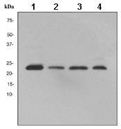 Western blot - ARFRP1 antibody [EPR3899] (ab108199)