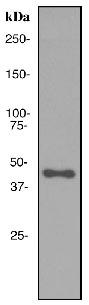 Western blot - APOA4 antibody [EPR2895] (ab108200)