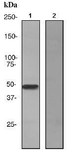 Immunoprecipitation - APOA4 antibody [EPR2895] (ab108200)
