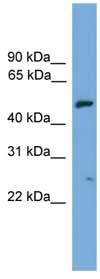 Western blot - Sec8 antibody (ab108247)