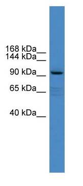 Western blot - XYLT1 antibody (ab108263)