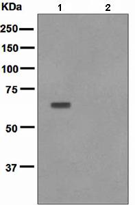Western blot - AKT1 (phospho T450) antibody [EPR4157] (ab108266)
