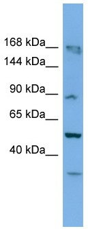 Western blot - TAF1C antibody (ab108281)