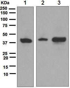 Western blot - Apg3 antibody [EPR4802] (ab108282)