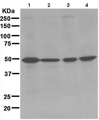 Western blot - AMSH antibody [EPR4361] (ab108301)