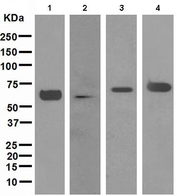 Western blot - alpha Internexin antibody [EPR1529] (ab108302)