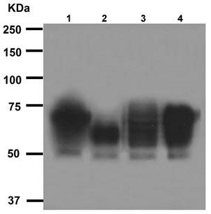 Western blot - CD46 antibody [EPR4014] (ab108307)