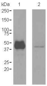 Western blot - CD1a antibody [EP3622] (ab108309)
