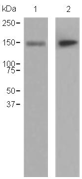 Western blot - CD13 antibody [EPR4058] (ab108310)