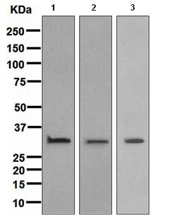 Western blot - Annexin V antibody [EPR3979] (ab108321)