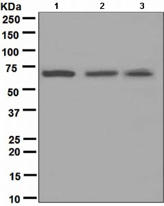 Western blot - Cdc7 Kinase antibody [EPR4730] (ab108332)