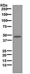 Western blot - Aurora A antibody [EPR5026] (ab108353)