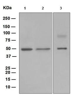 Western blot - AVEN antibody [EP4721] (ab108354)