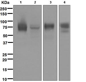 Western blot - CD97 antibody [EPR4427] (ab108368)