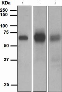 Western blot - EBF1 antibody [EPR4183] (ab108369)