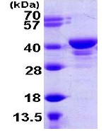 SDS-PAGE - UCH37 protein (ab108375)