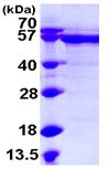 SDS-PAGE - HCM protein (ab108376)