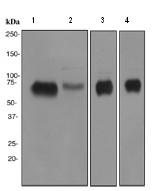 Western blot - Anti-BACE1 antibody [EPR3956] (ab108394)