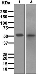Western blot - Anti-FOXA2 antibody [EPR4465] (ab108396)