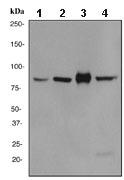 Western blot - Cullin 3 antibody [EPR3195] (ab108407)