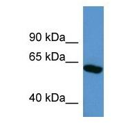 Western blot - Anti-SOX10 antibody (ab108408)