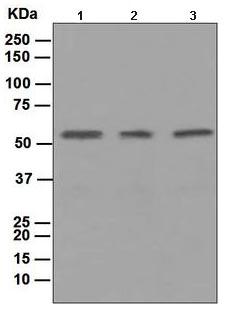 Western blot - CD47 antibody [EPR4150(2)] (ab108415)