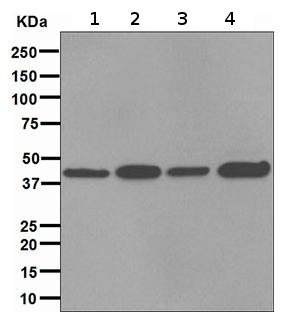 Western blot - FKBP6 antibody [EPR3673] (ab108419)