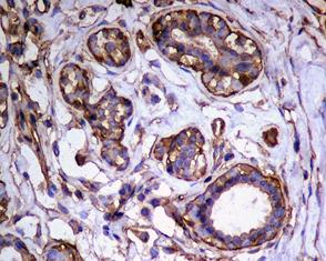 Immunohistochemistry (Formalin/PFA-fixed paraffin-embedded sections) - FKBP6 antibody [EPR3673] (ab108419)