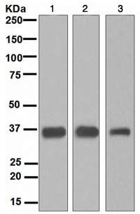 Western blot - Gemin 1 antibody [EPR4430] (ab108424)