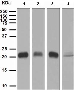 Western blot - Glutathione Peroxidase 1 antibody [EPR3312] (ab108427)