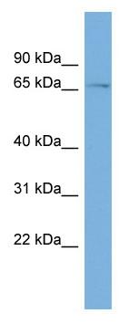 Western blot - ZNF697 antibody (ab108431)