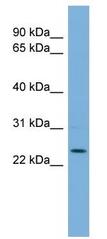 Western blot - THAP6 antibody (ab108434)