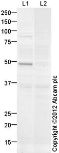 Western blot - Anti-HFH4 antibody (ab108452)