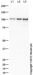 Western blot - Anti-Dynamin 1 antibody (ab108458)