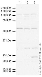 Western blot - Anti-RBCK1 antibody (ab108479)