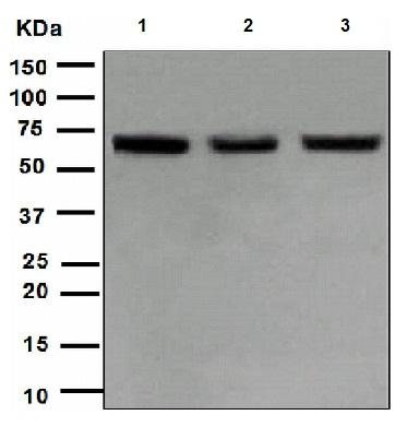 Western blot - LIM Kinase 1 antibody [EPR912] (ab108507)
