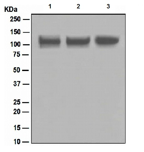 Western blot - ITCH/AIP4 antibody [EPR4936] (ab108515)