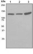Western blot - KCNH1 antibody [EPR3802] (ab108537)