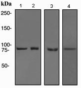 Western blot - Hsp90 alpha antibody [EPNCIR102] (ab108593)
