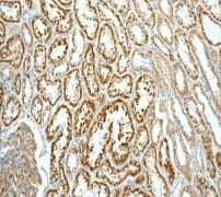 Immunohistochemistry (Formalin/PFA-fixed paraffin-embedded sections) - LAMP1 antibody [EPR4204] (ab108597)