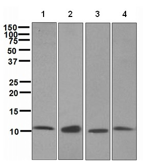 Western blot - Cpn10 antibody [EPR4475] (ab108611)
